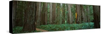 Trees in a Forest, Jedediah Smith Redwoods State Park, California, USA