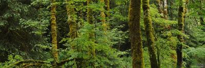 Trees in a Forest, Olympic National Park, Washington, USA--Photographic Print