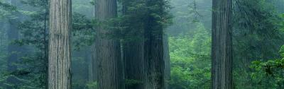 Trees in a Forest, Redwood National Park, California, USA--Photographic Print