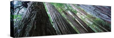 Trees in a Forest, Redwood National Park, California, USA