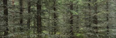 Trees in a Forest, Spruce Forest, Joutseno, Finland--Photographic Print