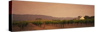 Trees in a Vineyards, Napa Valley, California, USA