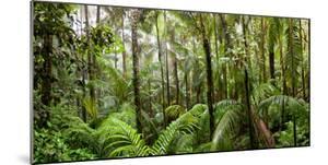 Trees in Tropical Rainforest, Eungella National Park, Mackay, Queensland, Australia