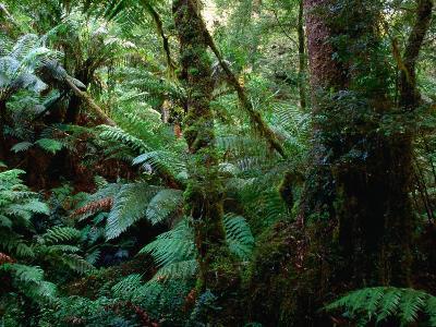 Trees, Tree Fern and Moss in the Dense, Wet Rainforest, Otway National Park, Australia-Rodney Hyett-Photographic Print