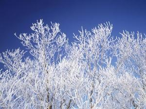 Trees white with frost, blue background, Hokkaido prefecture, Japan