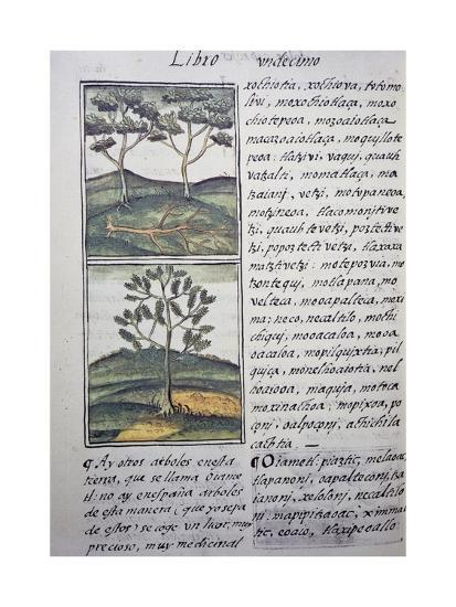 Trees, Wild Cypresses and Firs, Page from Florentine Codex--Giclee Print