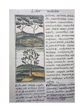 https://imgc.artprintimages.com/img/print/trees-wild-cypresses-and-firs-page-from-florentine-codex_u-l-pq4yyz0.jpg?p=0