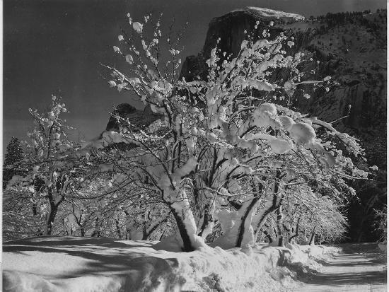 """Trees With Snow On Branches """"Half Dome Apple Orchard Yosemite"""" California. April 1933. 1933-Ansel Adams-Art Print"""