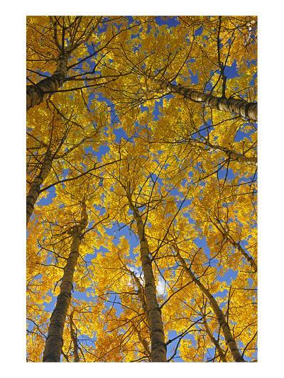 Trembling Aspens in Autumn-Mike Grandmaison-Art Print