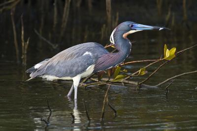 Tri-Colored Heron (Egretta Tricolor) Fishing on the Coast, Texas, USA-Larry Ditto-Photographic Print