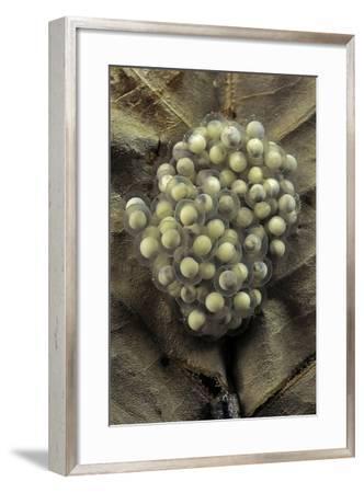 Trichobatrachus Robustus (Hairy Frog) - Eggs-Paul Starosta-Framed Photographic Print