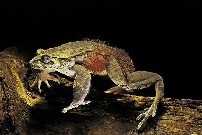 Trichobatrachus Robustus (Hairy Frog)-Paul Starosta-Photographic Print