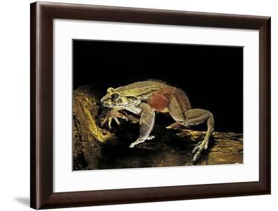 Trichobatrachus Robustus (Hairy Frog)-Paul Starosta-Framed Photographic Print