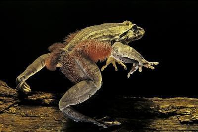 https://imgc.artprintimages.com/img/print/trichobatrachus-robustus-hairy-frog_u-l-pzqoc50.jpg?p=0