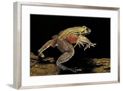 Trichobatrachus Robustus (Hairy Frog)-Paul Starosta-Framed Photographic Print