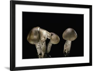 Tricholoma Saponaceum (Soap-Scented Toadstool, Soapy Knight, Soap Tricholoma)-Paul Starosta-Framed Photographic Print