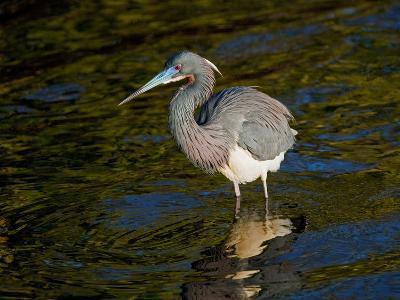 Tricolored Heron II-Manfred Kraus-Photographic Print