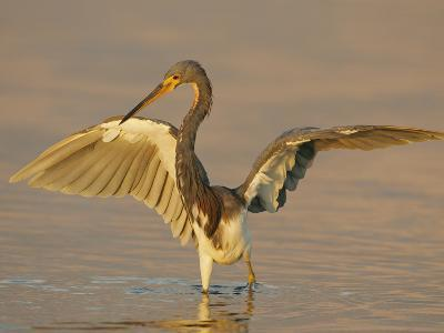 Tricolored Heron in Winter Plumage with its Wings Lifted While Fishing, Egretta Tricolor, Florida-Arthur Morris-Photographic Print