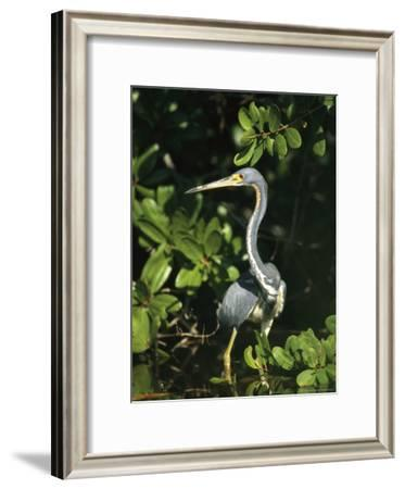 Tricolored Heron on Floridas Gulf Coast-Klaus Nigge-Framed Photographic Print