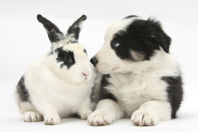 Tricolour Border Collie Puppy Basil, 8 Weeks, with Black and White Rabbit-Mark Taylor-Photographic Print