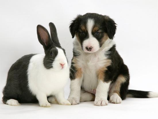 Tricolour Border Collie Puppy with Blue Dutch Rabbit-Jane Burton-Photographic Print