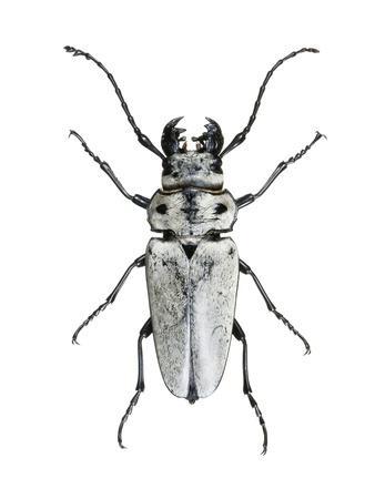 https://imgc.artprintimages.com/img/print/trictenotoma-beetle_u-l-pzh1ym0.jpg?p=0