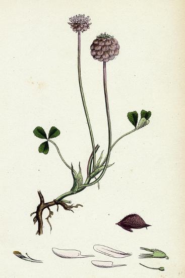 Trifolium Fragiferum Strawberry-Headed Trefoil--Giclee Print