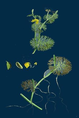 https://imgc.artprintimages.com/img/print/trifolium-maritimum-teasel-headed-trefoil_u-l-pvfm210.jpg?p=0