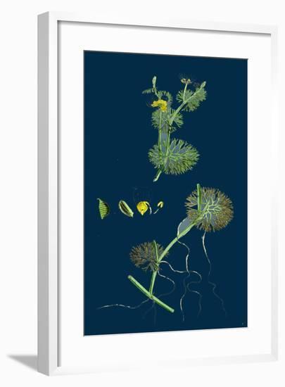 Trifolium Maritimum; Teasel-Headed Trefoil--Framed Giclee Print