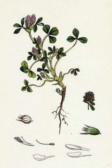 Trifolium Striatum Soft Knotted Trefoil--Giclee Print