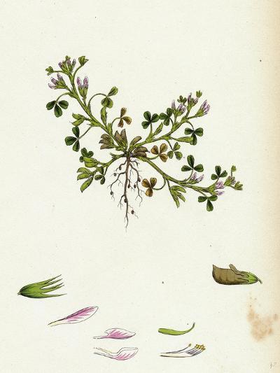 Trigonella Ornithopodioides Bird'S-Foot Fenugreek--Giclee Print
