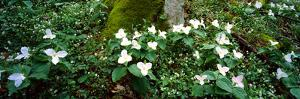 Trillium Wildflowers on Plants, Chimney Tops, Great Smoky Mountains National Park, Gatlinburg