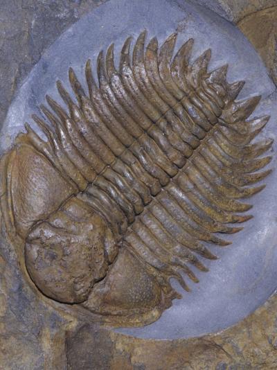 Trilobite Fossil, Ordovician, 473-476 M.Y.A., England-Ken Lucas-Photographic Print