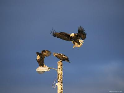Trio of American Bald Eagles Land on a Streetlamp-Tom Murphy-Photographic Print