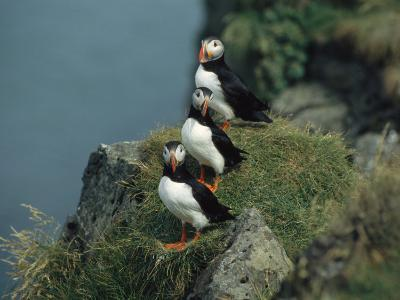 Trio of Atlantic Puffins Perch on a Grass-Covered Cliff-Sisse Brimberg-Photographic Print