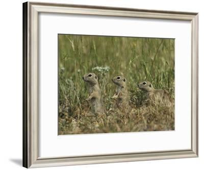 Trio of European Sousliks Alertly Watching and Listening-Klaus Nigge-Framed Photographic Print