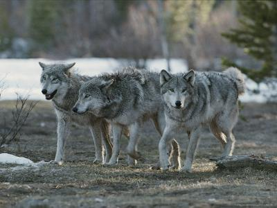 Trio of Gray Wolves, Canis Lupus, Stroll Their Territory-Jim And Jamie Dutcher-Photographic Print