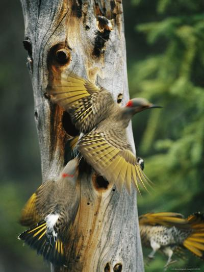Trio of Northern Flickers Around a Nesting Hole in an Old Snag-Michael S^ Quinton-Photographic Print