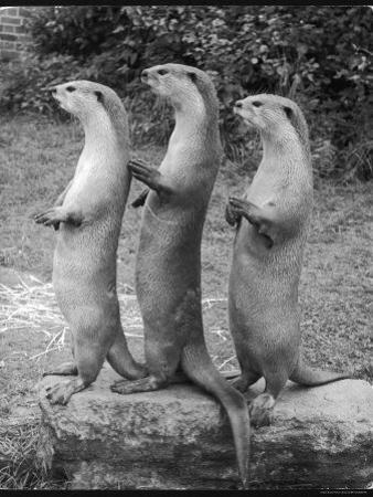 Trio of Otters