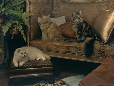 Trio of Persian Cats Recline on the Furniture-Willard Culver-Photographic Print