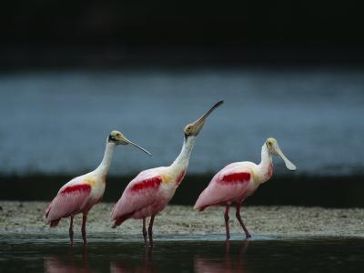 Trio of Roseate Spoonbills Are Reflected in a Coastal Lagoon-Klaus Nigge-Photographic Print