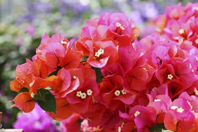 https://imgc.artprintimages.com/img/print/triplet-s-flowers-blossoms-bougainvillaea_u-l-q11vcie0.jpg?p=0
