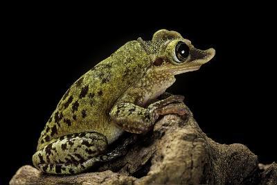 Triprion Spatulatus (Shovel-Nosed Treefrog)-Paul Starosta-Photographic Print