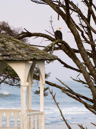 Eagle Perched at Entrance to Beach Trail, Kalaloch Lodge, Olympic National Park, Washington, USA