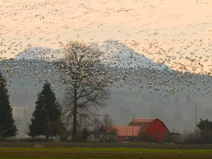 Flock of Snow Geese Take Flight, Mt. Baker and Cascades at Dawn, Fir Island, Washington, USA by Trish Drury