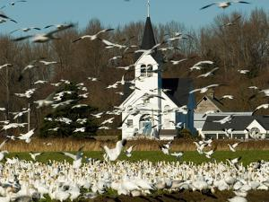 Masses of Snow Geese in Agricultural Fields of Skagit Valley, Washington, USA by Trish Drury