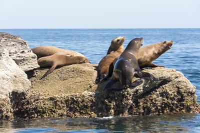 Mexico, Baja California Sur. Isla Coronado, California Sea Lion colony haul out called La Lobera. by Trish Drury