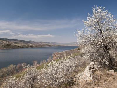 Serviceberry, Horsetooth Reservoir, Fort Collins, Colorado, USA