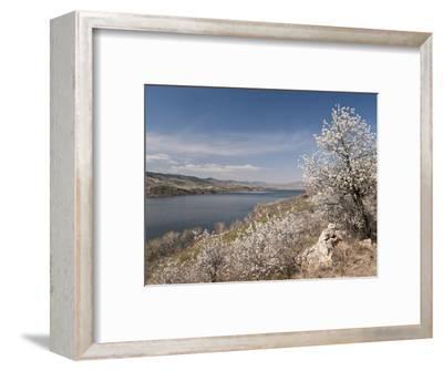 Serviceberry, Horsetooth Reservoir, Fort Collins, Colorado, USA