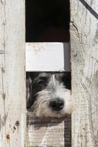 USA, Georgia. Engaging dog peeks through fence wistfully by Trish Drury